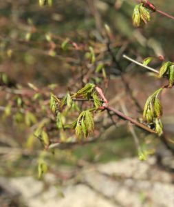 tree buds and seasonal allergies